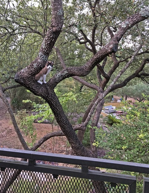 kreamer the cat in a tree austin siamese